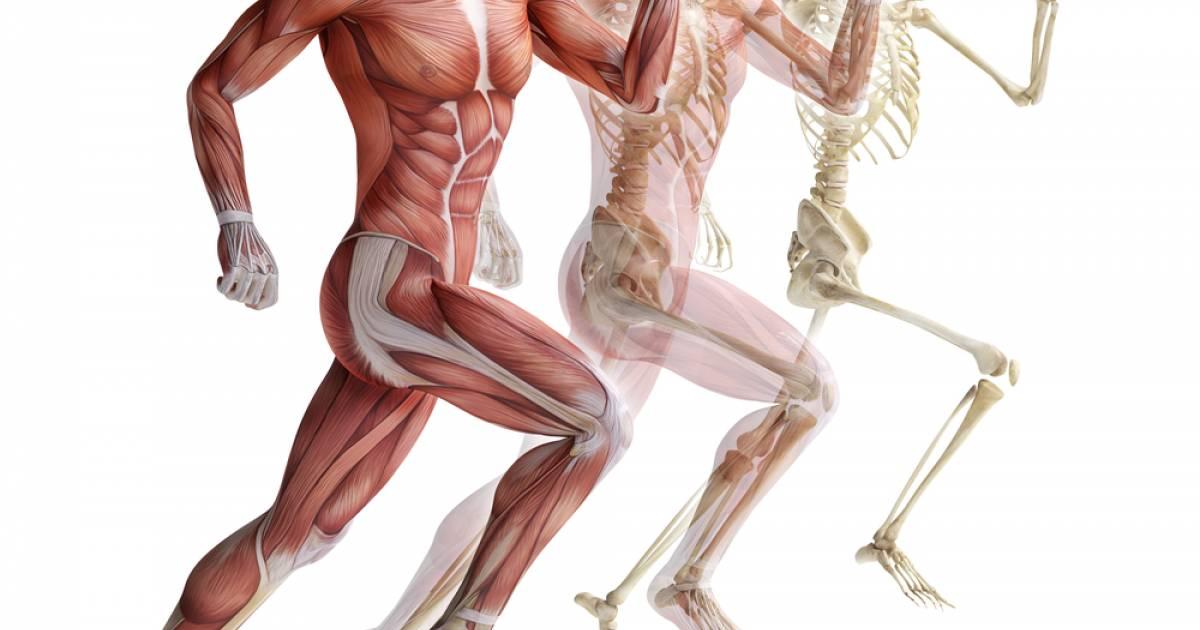 В какой части тела больше всего мышц. расположение в теле. зависимость от возраста
