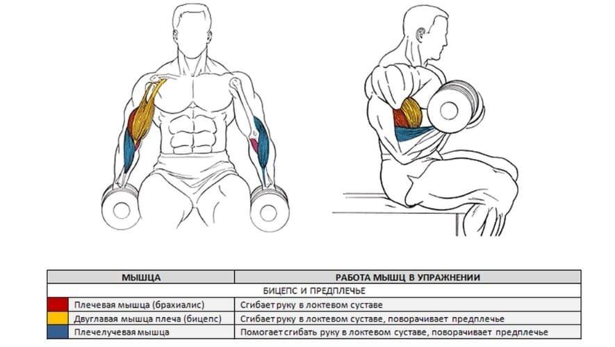 Брахиалис: как накачать мышцу - анатомия и лучшие упражнения с гантелями и на турнике, паучьи сгибания в домашних условиях