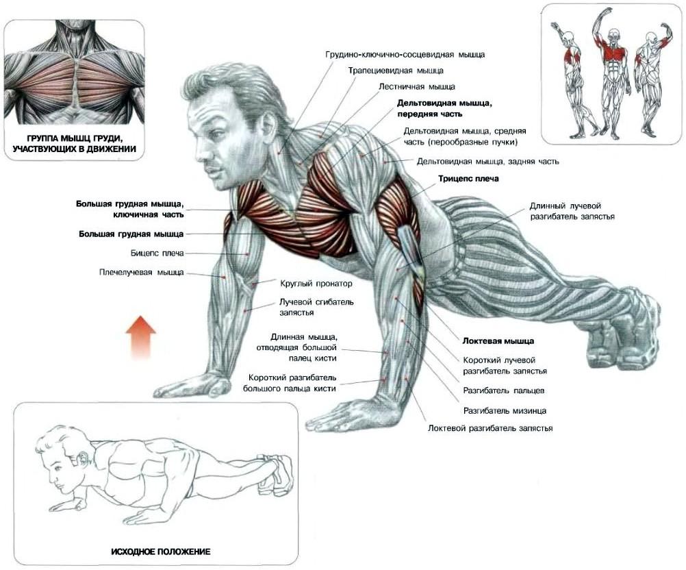Отжимания от пола: анатомия упражнения, основные разновидности, какие мышцы качаются | rulebody.ru — правила тела