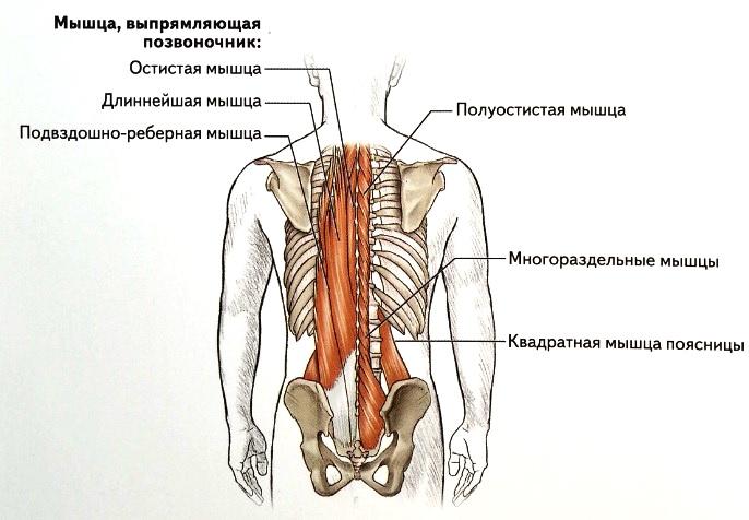 Анатомия мышц спины | бомба тело