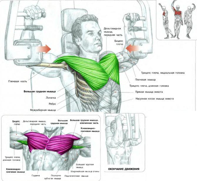 Разведение рук в тренажере (обратные разведения): техника выполнения и вариации упражнения, противопоказания и меры предосторожности, какие мышцы задействуются и программа тренировки