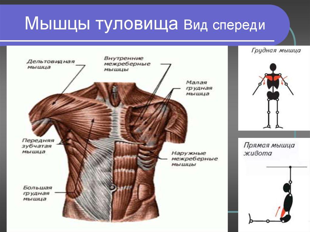 Строение скелета грудной клетки человека: грудная кость, ребра, позвонки