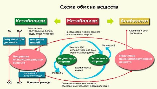 Метаболизм (обмен веществ): роль в организме, типы, особенности