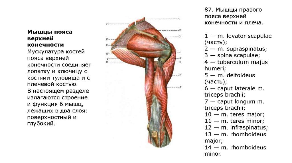 Как устроено плечо человека, его функции и особенности