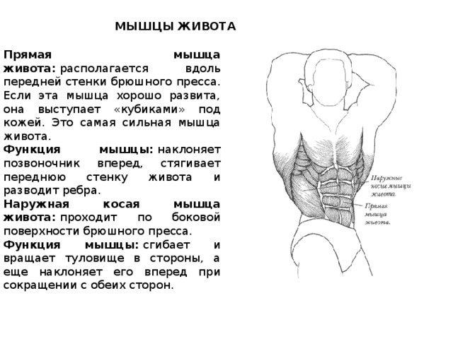 Прямая мышца живота: анатомия, функции, упражнения для женщин и мужчин