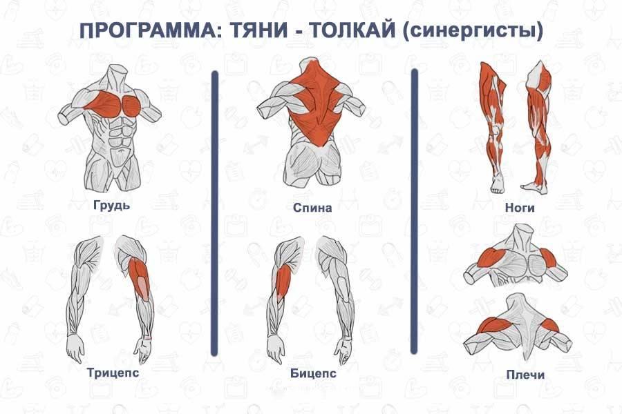 Мышцы антагонисты и синергисты таблица анатомия
