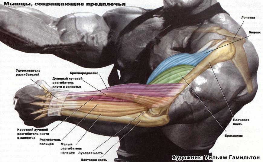 Брахиалис: как накачать плечевую мышцу для увеличения объема бицепса - все о суставах