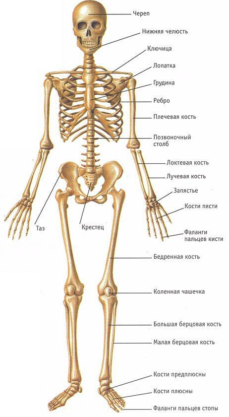 Скелет: сколько костей в теле человека? сколько весит скелет человека. - в клинике