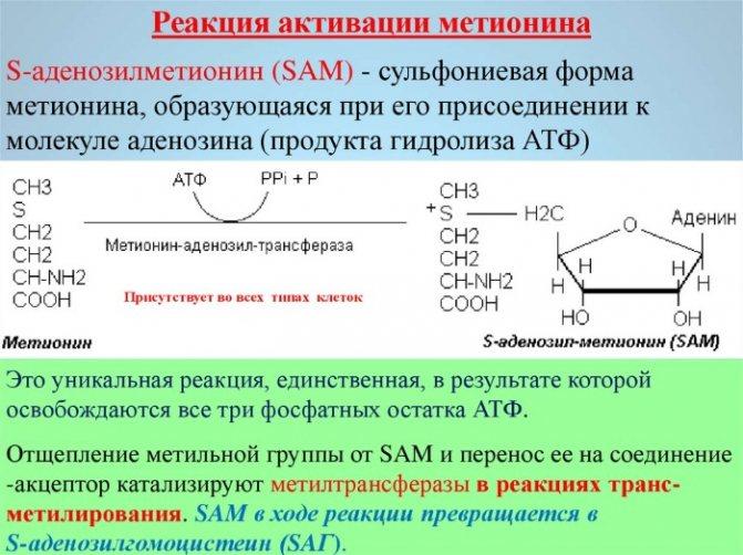 Метионин в бодибилдинге: схема приема, дозировка, состав, описание, назначение, показания и противопоказания - tony.ru