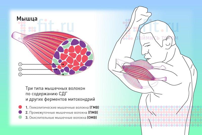 Тренировка медленных мышечных волокон: все тонкости и секреты в домашних условиях | для девушек и мужчин