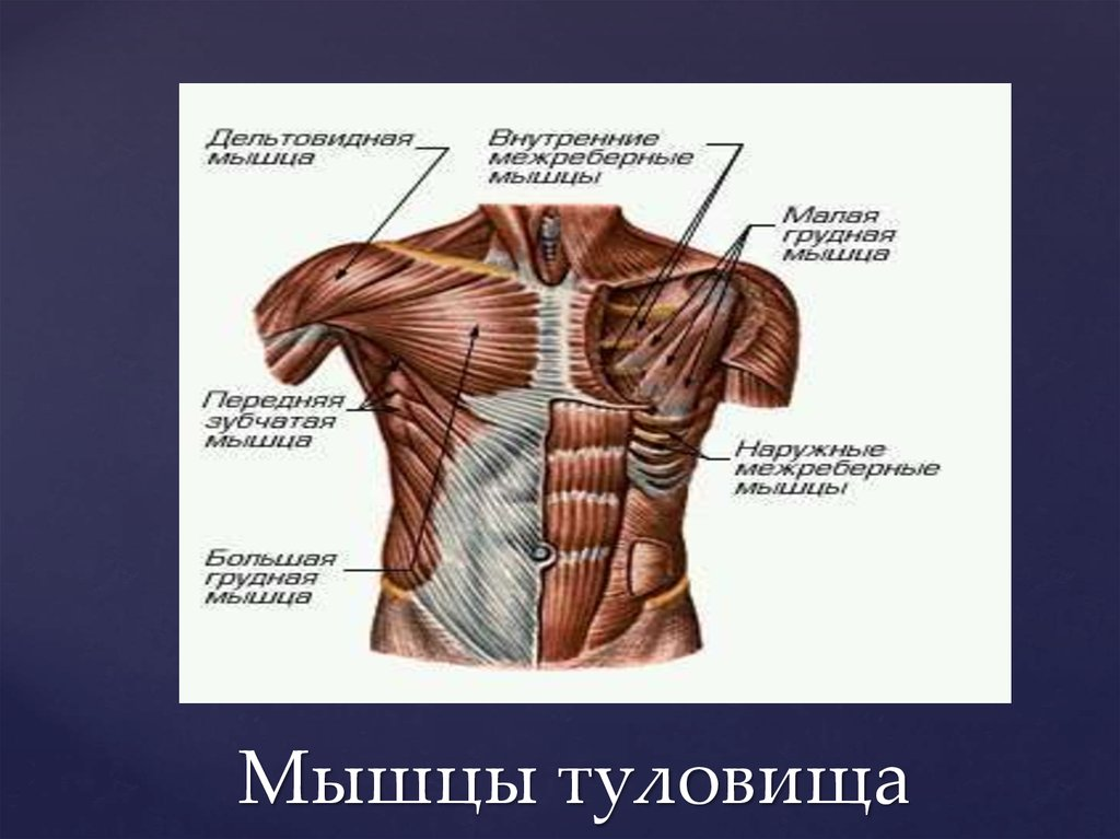 Анатомия мышц человека (бодибилдера): в картинках подробно