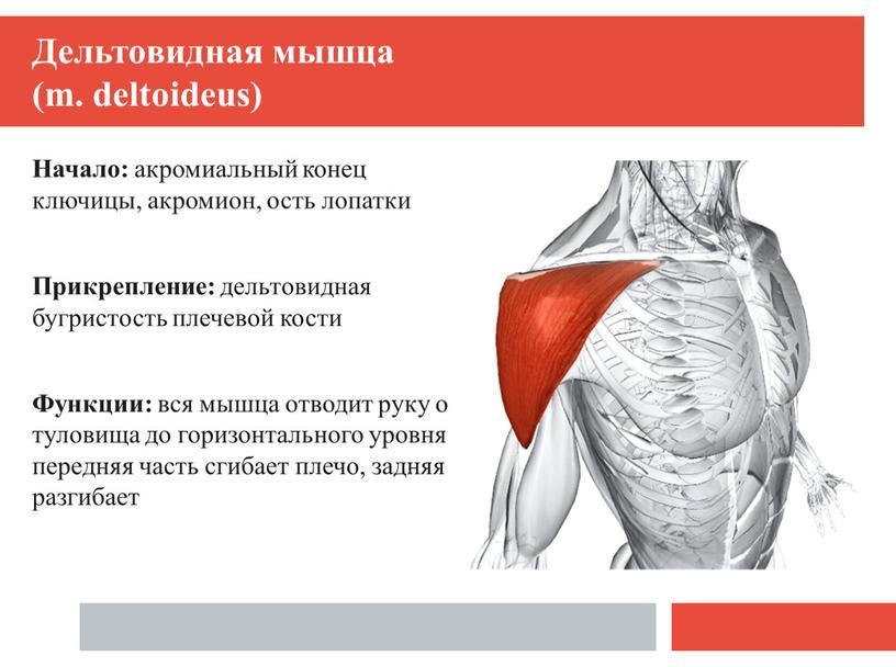 Мышцы руки: часть 1 мышцы плеча
