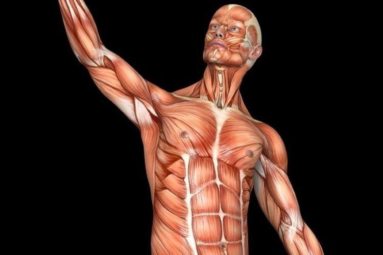 Какие самые сильные мышцы в человеческом организме: где они расположены?