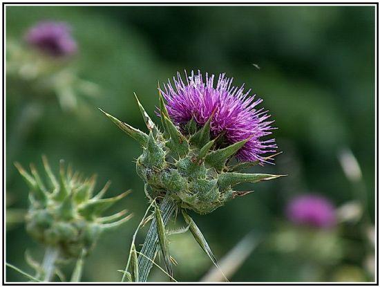 Расторопша - лечебные свойства травы. применение расторопши