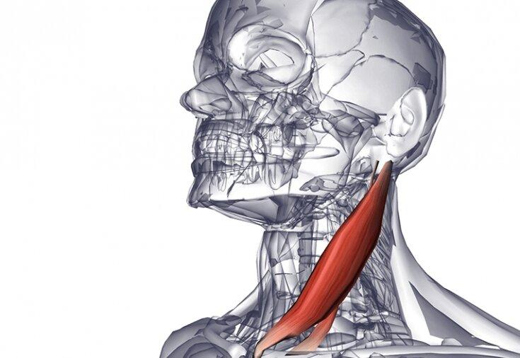 Мышцы шеи: анатомия, как укрепить и накачать шейный отдел