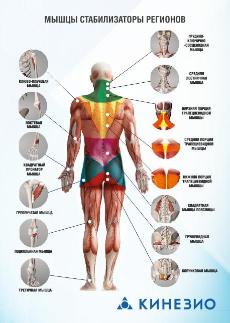 Мышцы стабилизаторы: для чего необходимо укреплять, тренировка