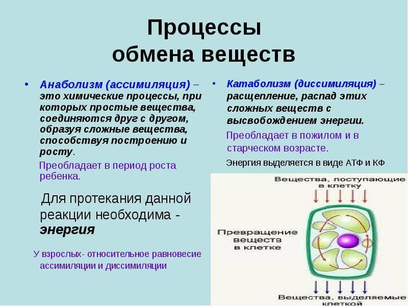 Метаболизм человека: виды и факторы, влияющие на него