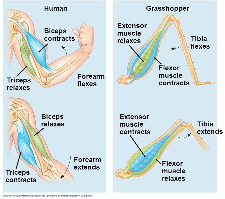 Мышцы антагонисты упражнения на руки, ноги, грудь и спину
