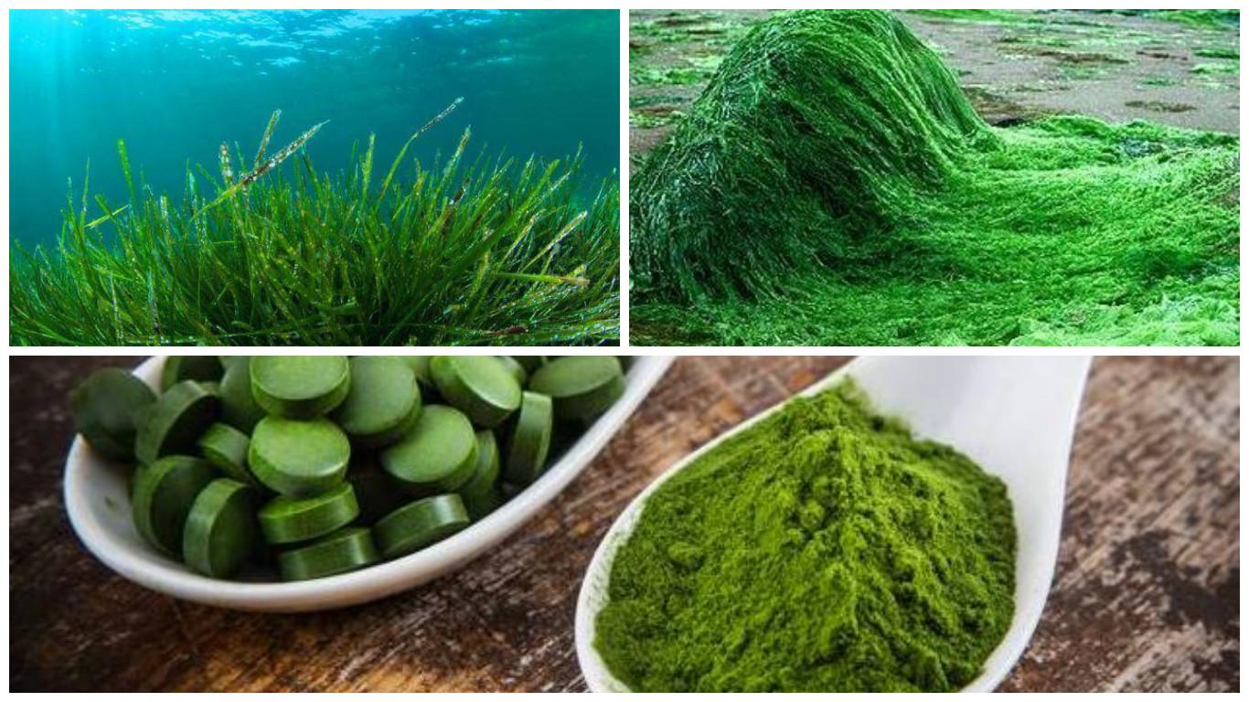 Морские водоросли: польза и вред для организма - семейная клиника опора г. екатеринбург