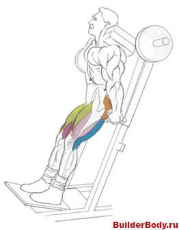 Мышцы бедра: анатомия, упражнения, как накачать внешнюю и внутреннюю поверхность бедра