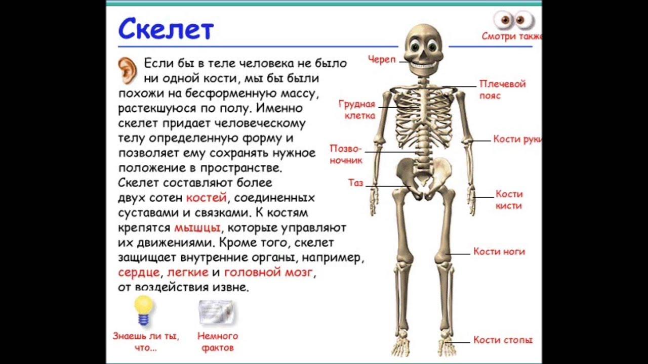 Тяжелая кость – правда или миф?