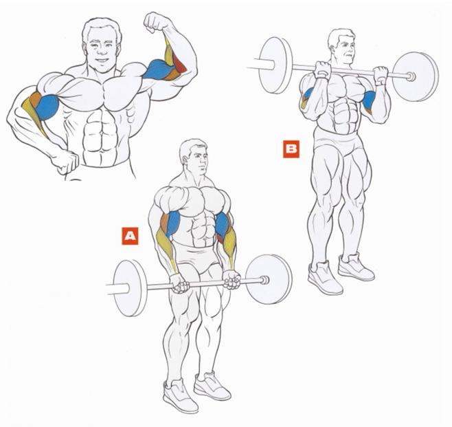 Как накачать бицепс: лучшие упражнения и прогаммы тренировок на бицепс дома и в зале