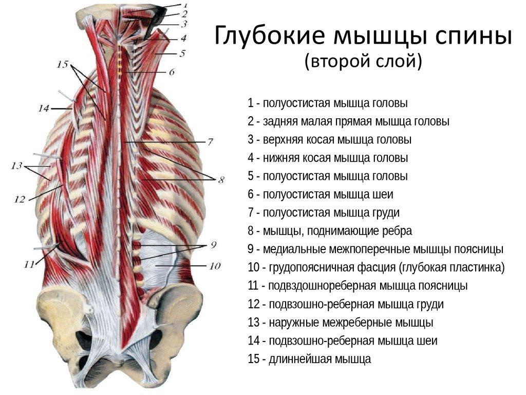 Мышцы разгибатели спины анатомия