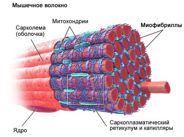 Основные типы и характеристики мышечных волокон