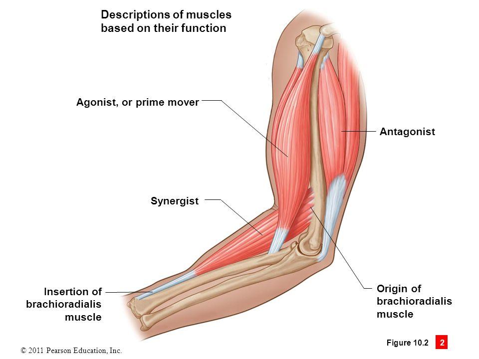 Примеры мышц антагонистов и синергистов таблица