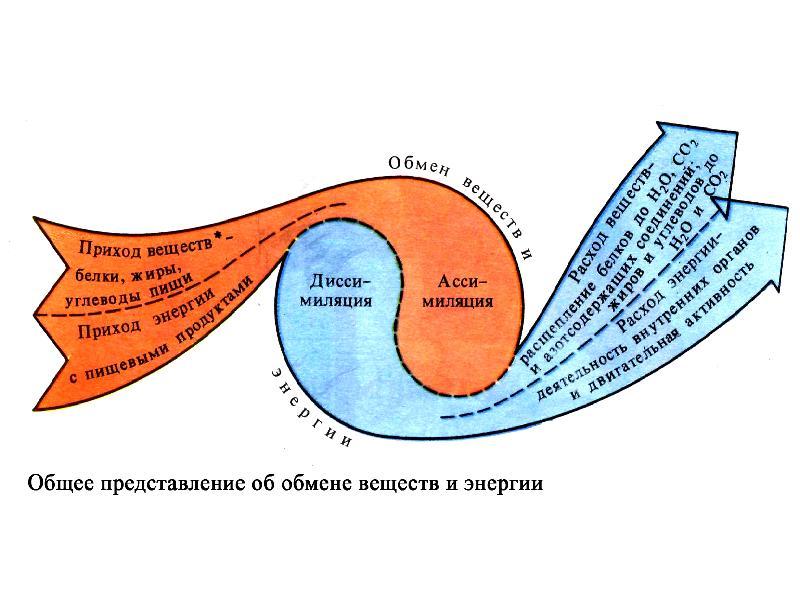 Основной обмен веществ (базальный метаболизм): подробная инструкция и формула расчета
