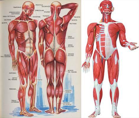 Уроки анатомии: сколько мышц в теле человека