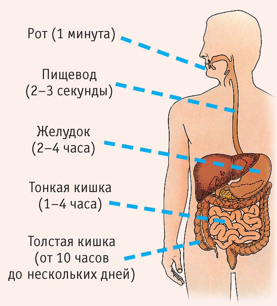 Раздел пищеварение лекция №2 -3 пищеварение: сущность, строение пищеварительной системы