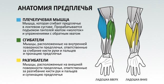 Брахиалис (плечевая мышца) узнайте как ее накачать и увеличить объем вашего бицепса.