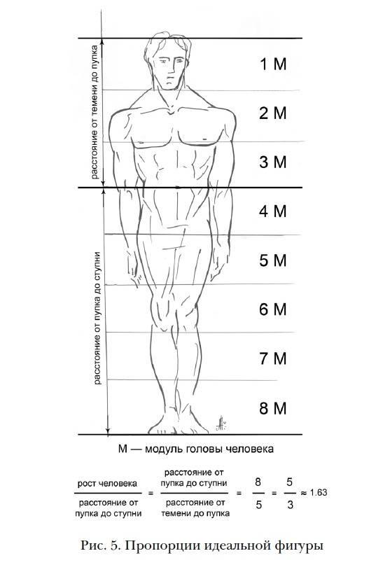 Идеальные пропорции в бодибилдинге