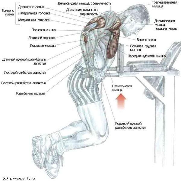Отжимания на брусьях: какие мышцы работают, варианты в грудном стиле и для проработки трицепсов