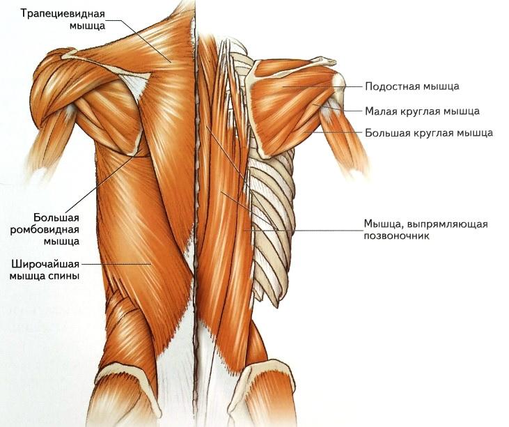 Анатомия мышц спины: строения, функции, упражнения для развития мышц спины - всё о тренировках