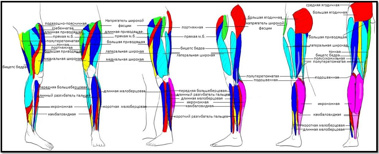 Мышцы ног и ягодиц: строение и функции