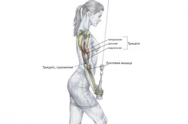 Качаем трицепсы: эффективные упражнения для мужчин и женщин