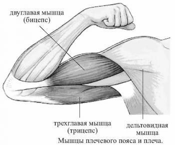 Мышцы рук: мышцы предплечья и кисти+ видео по их тренировки