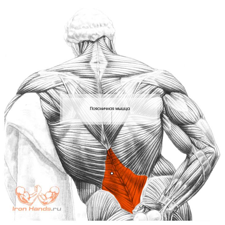 Мышцы разгибатели позвоночника анатомия
