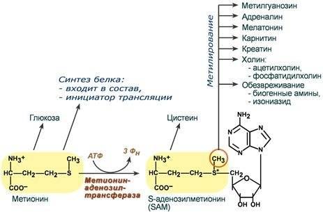Метионин: польза и вред для человека, в каких продуктах содержится, суточная норма