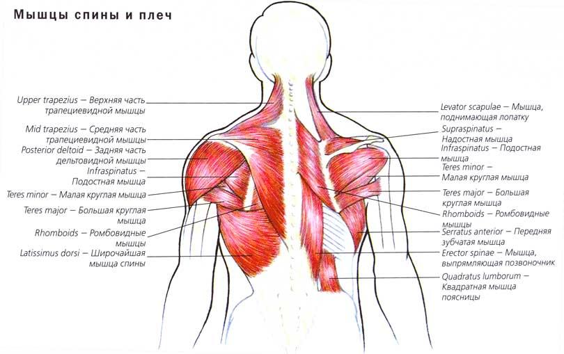 Мышцы разгибатели грудного отдела позвоночника