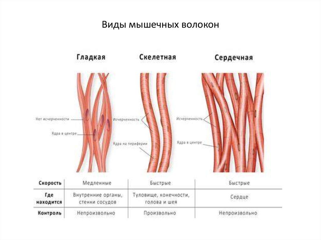 Типы мышечных волокон типы мышечных волокон