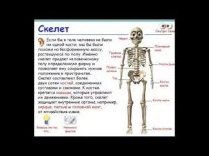 Скелет: сколько костей в теле человека? сколько весит скелет человека.