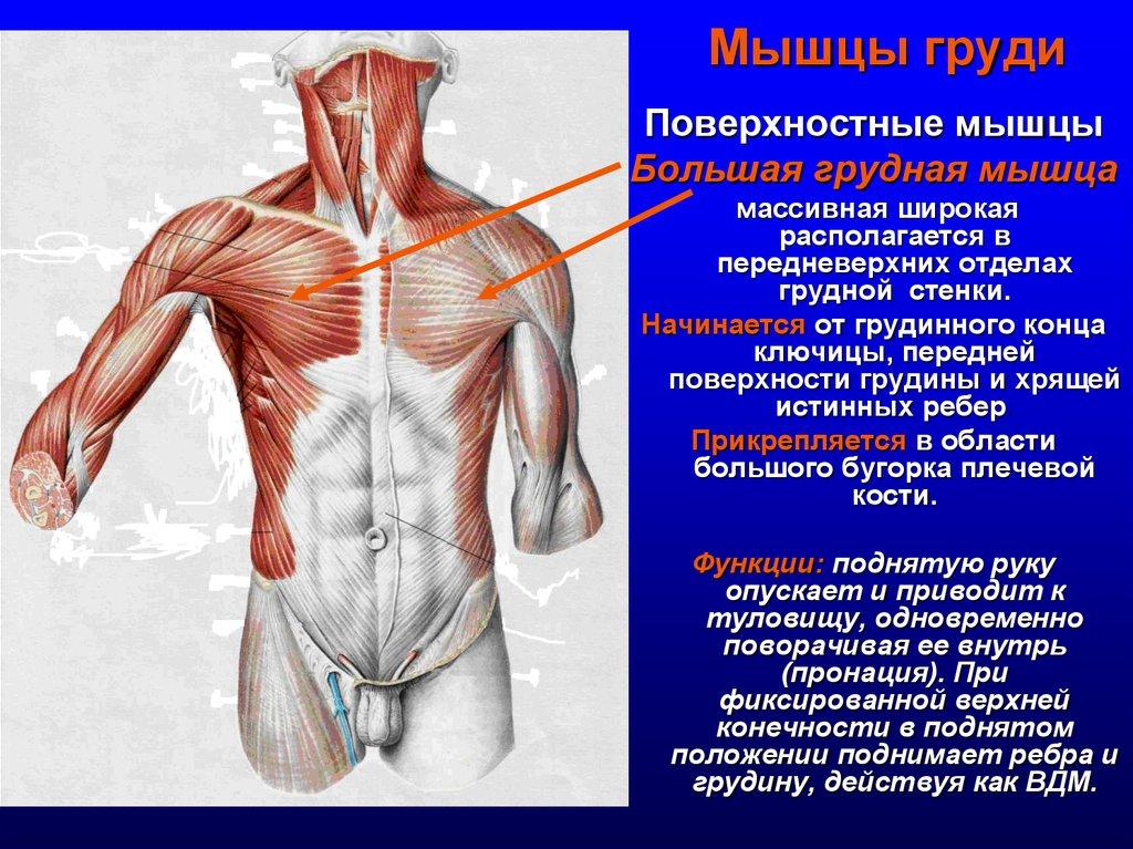 Анатомия грудной клетки человека: функции и строение грудины и ребер