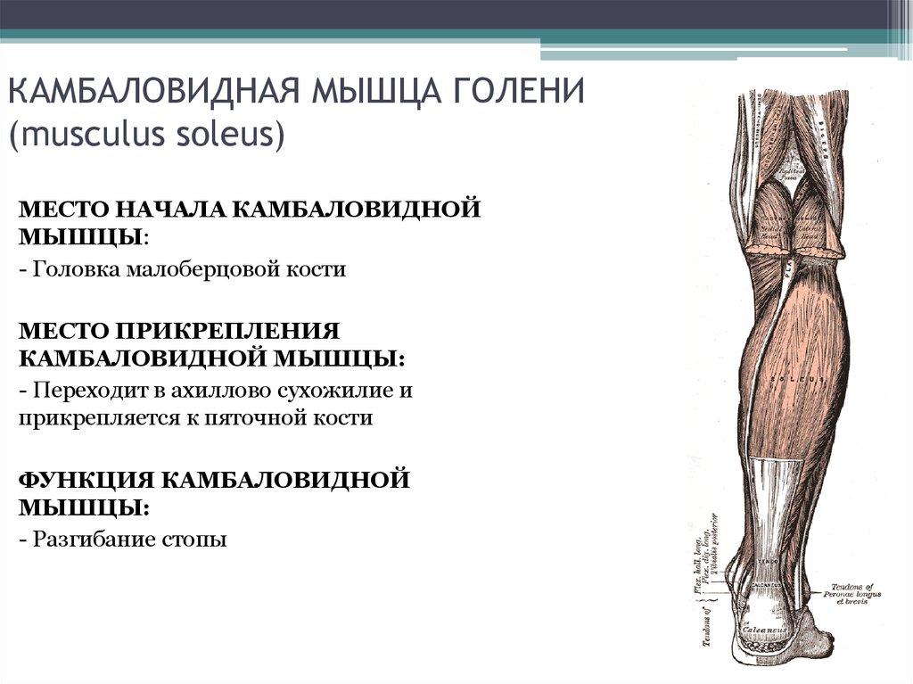 Камбаловидная мышца: что это такое и где она находится