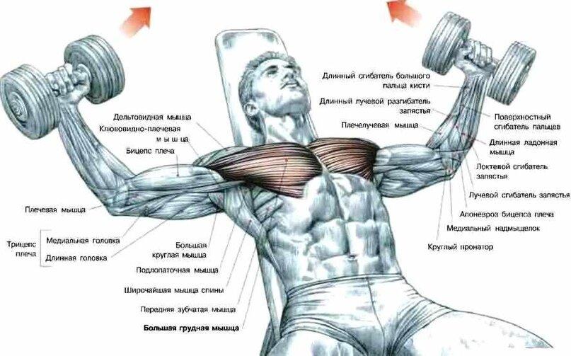 Упражнения на грудь с гантелями