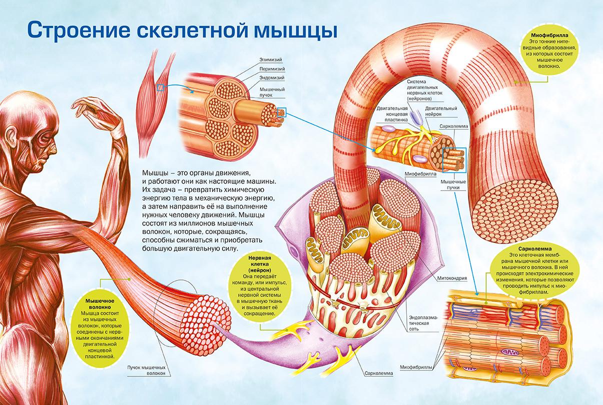 Типы мышечных волокон и их функции