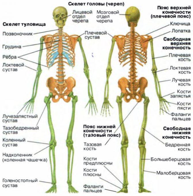 Сколько весят кости человека? | medded.ru
