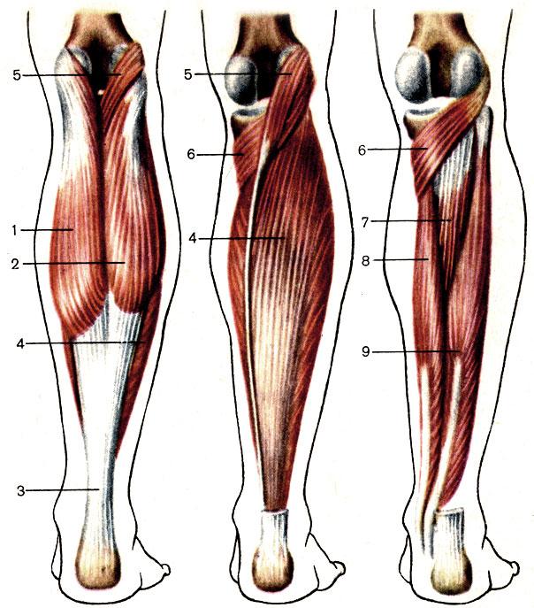 Многораздельные мышцы поясницы: анатомия, функции и упражнения   kinesiopro